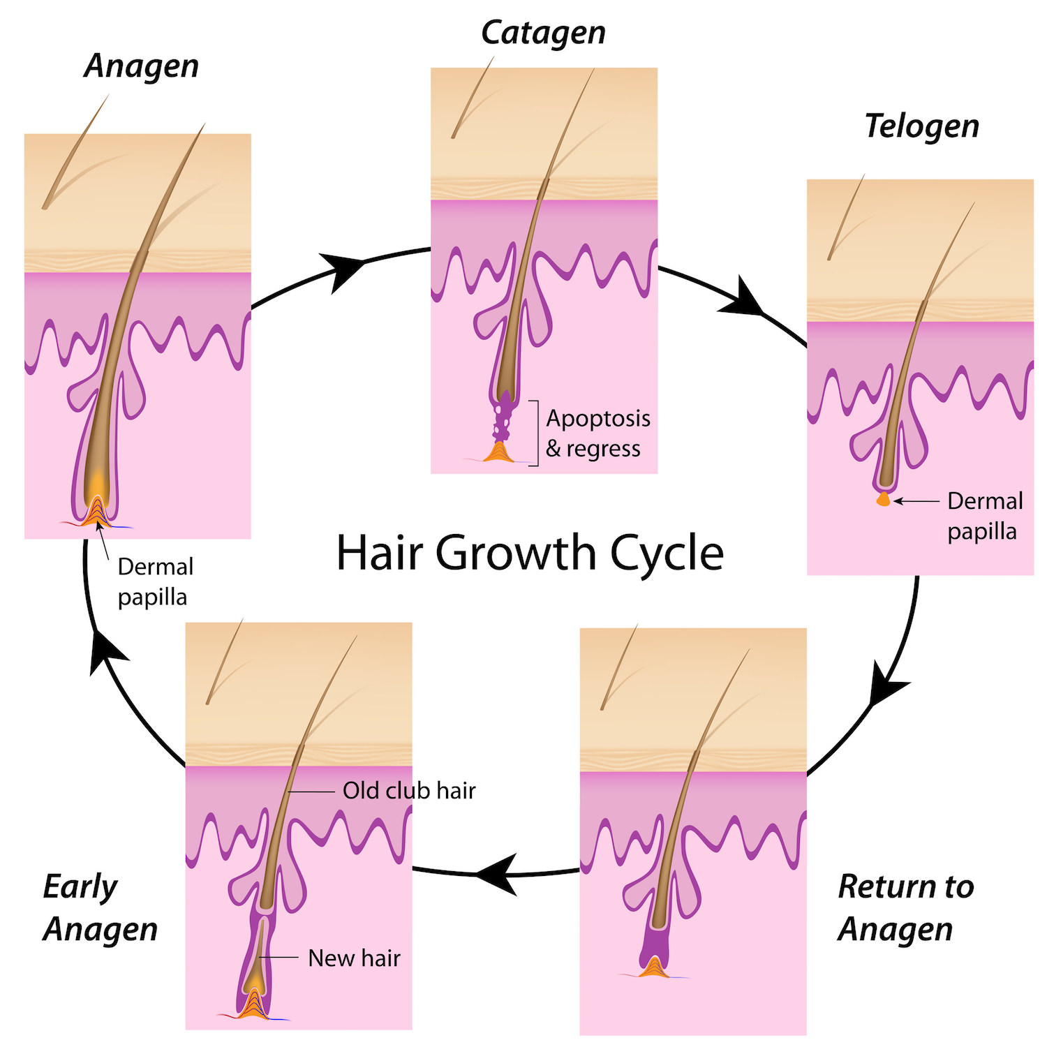 Hair-Cycle